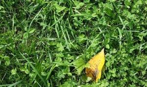 leaf fallen in August